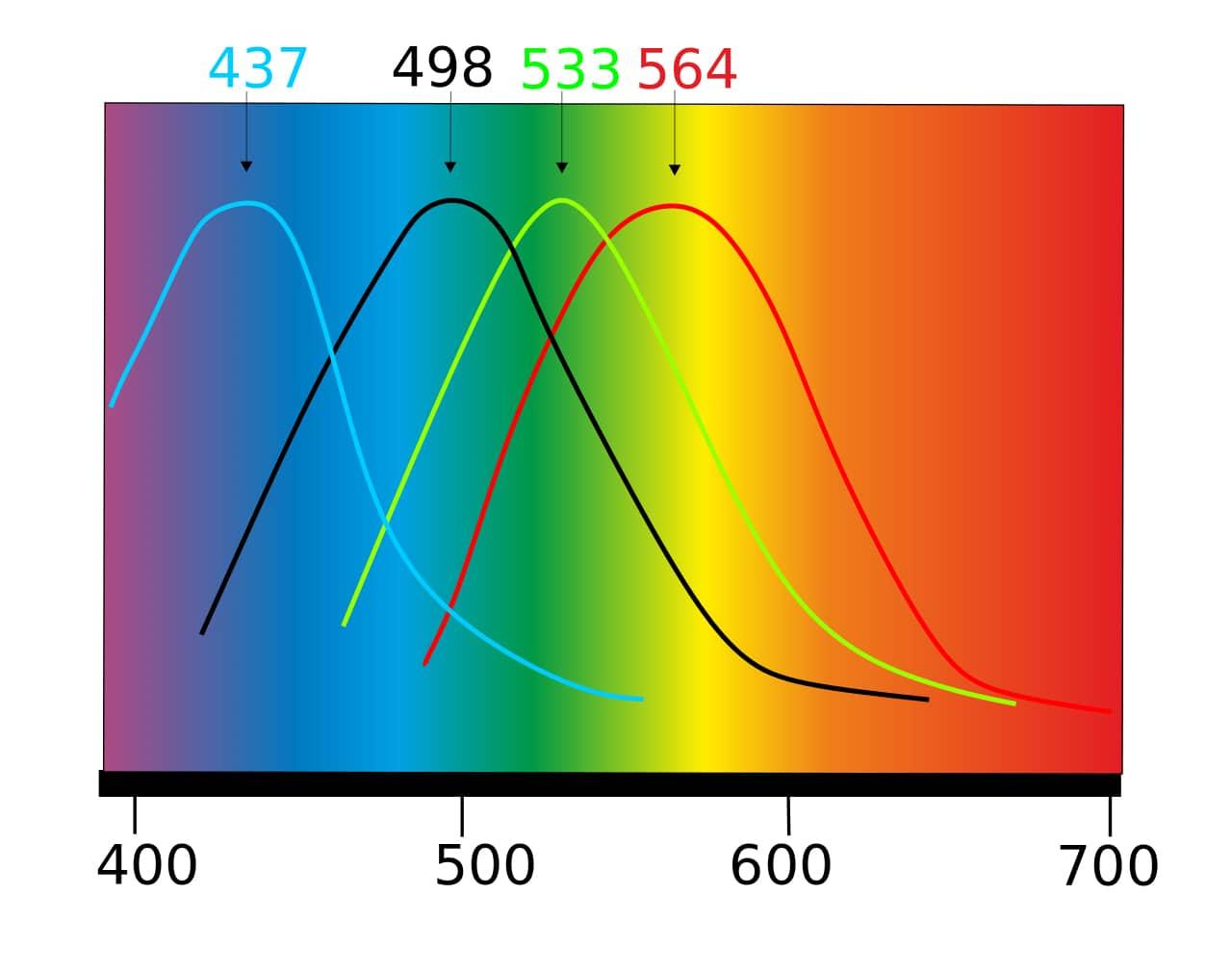 Absorption spectrum of cones